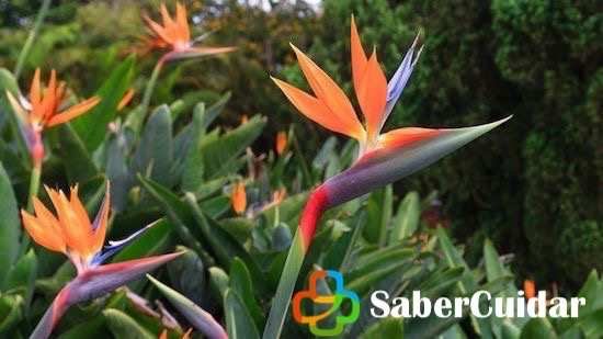 aves del paraíso sembrada en jardín