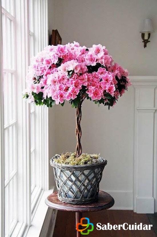 azalea plantada en maceta