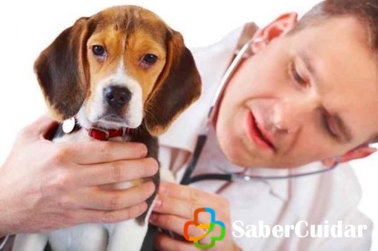 Beagle veterinario