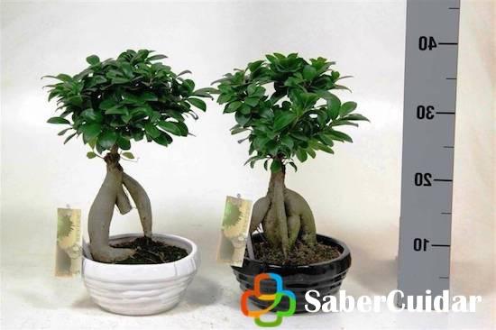 Medidas de los bonsái ficus ginseng