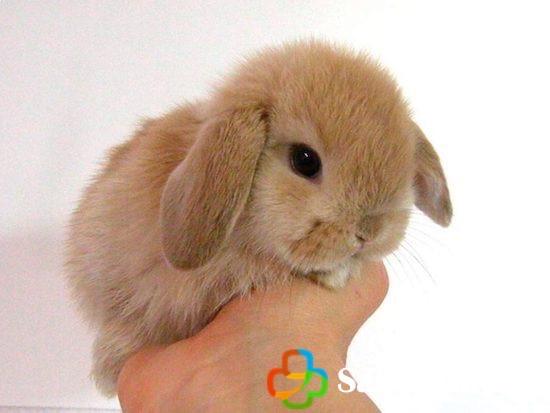 Conejo enano toy en la mano