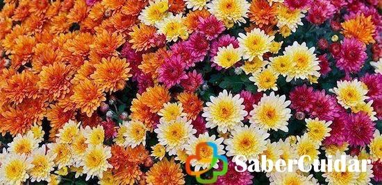 Floración del crisantemo