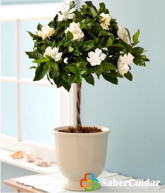 Gardenia sembrada en maceta