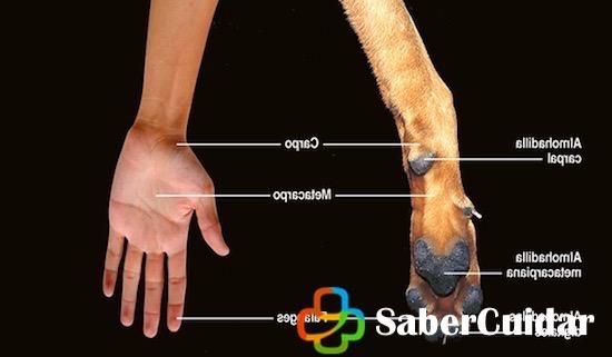 Mano de perro vs mano humana