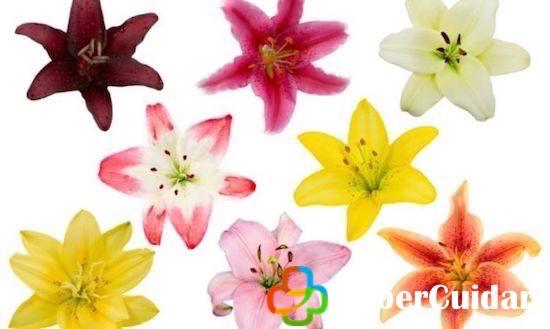 Lirios en variedad de colores