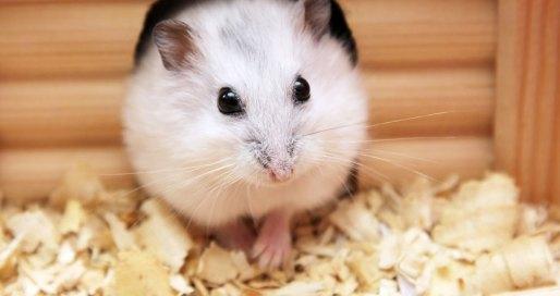 hamster cuidados a tener en cuenta
