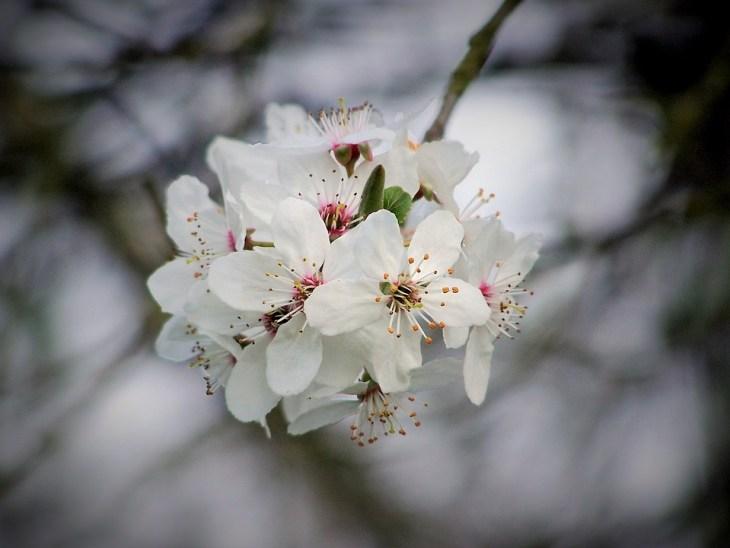 como cuidar un cerezo