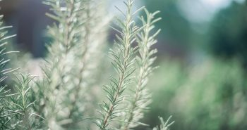 planta del romero