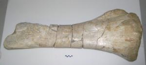 tibia aragosaurus 2014