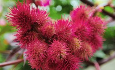 plantas-venenosas-03