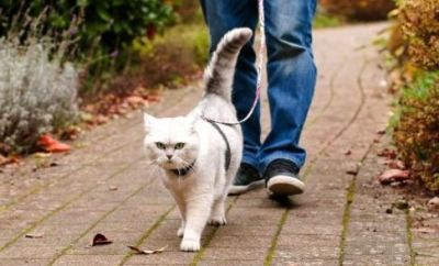 Advierten que es muy peligroso sacar a pasear al gato