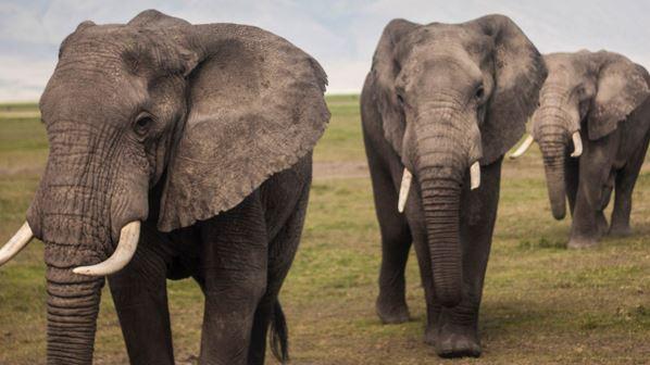 Los elefantes no suelen padecer cáncer