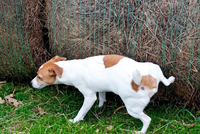 Los perros machos orinan con la pata levantada