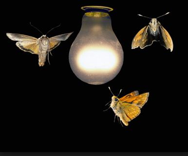 La luz atrae a los insectos por este motivo