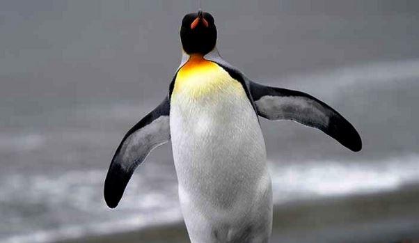 Los pingüinos no pueden volar por esta razón