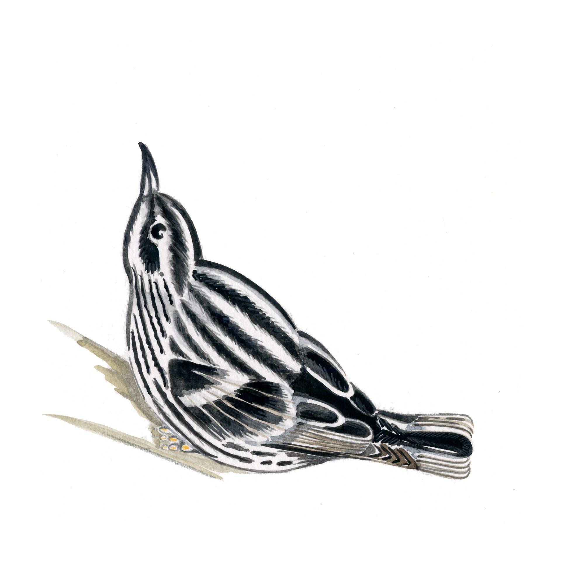 sabine-hautefeuille-illustration-fauvette