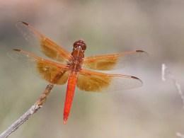 Flame Skimmer Dragonfly