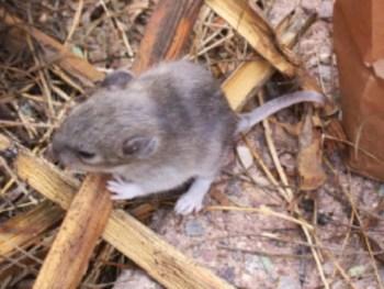 White Throated Wood Rat (Pack Rat)