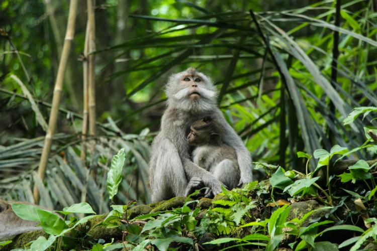 ubud-monkeys