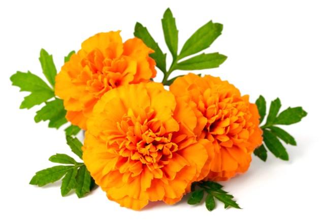 características de la flor de cempasúchil