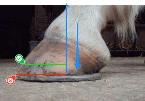 Hoof - weight-bearing and rollover points