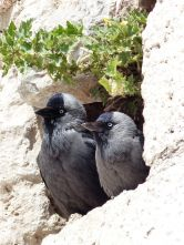 Crows, Isabey Mosque - Selcuk