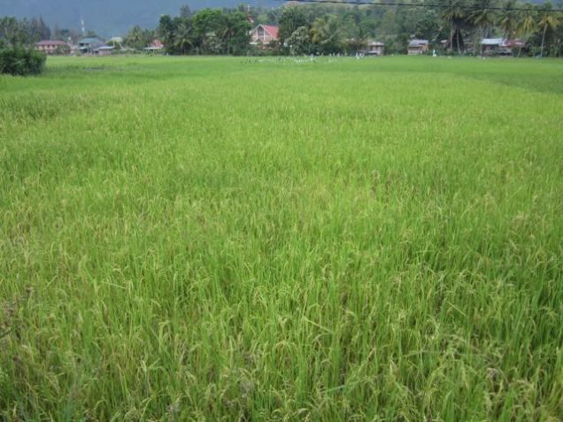 Staple crop