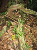 Rainforest Roots