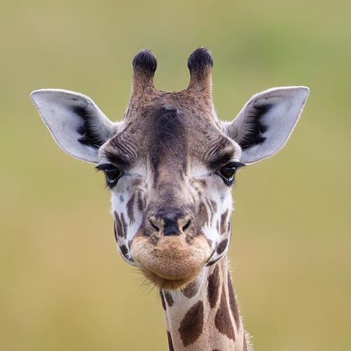 homepage-giraffe