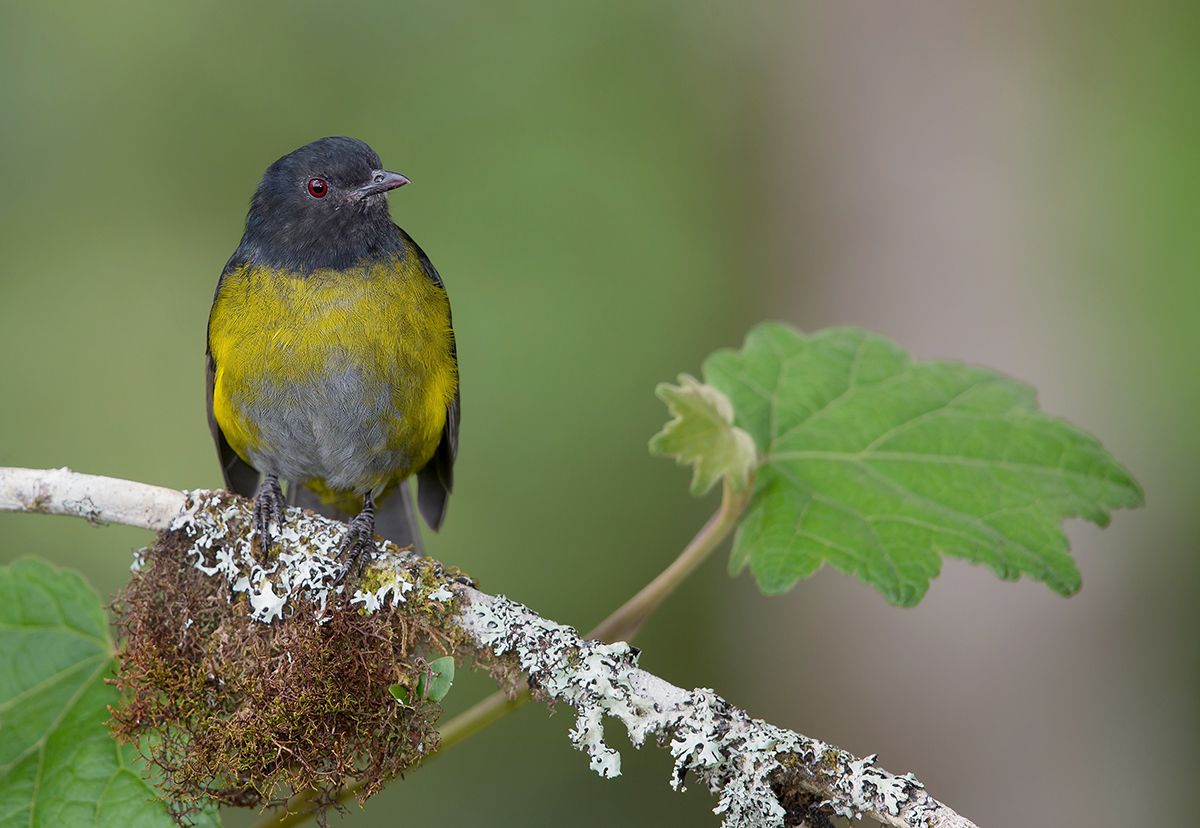 Black-and-yellow Silky-Flycatcher - Costa Rica