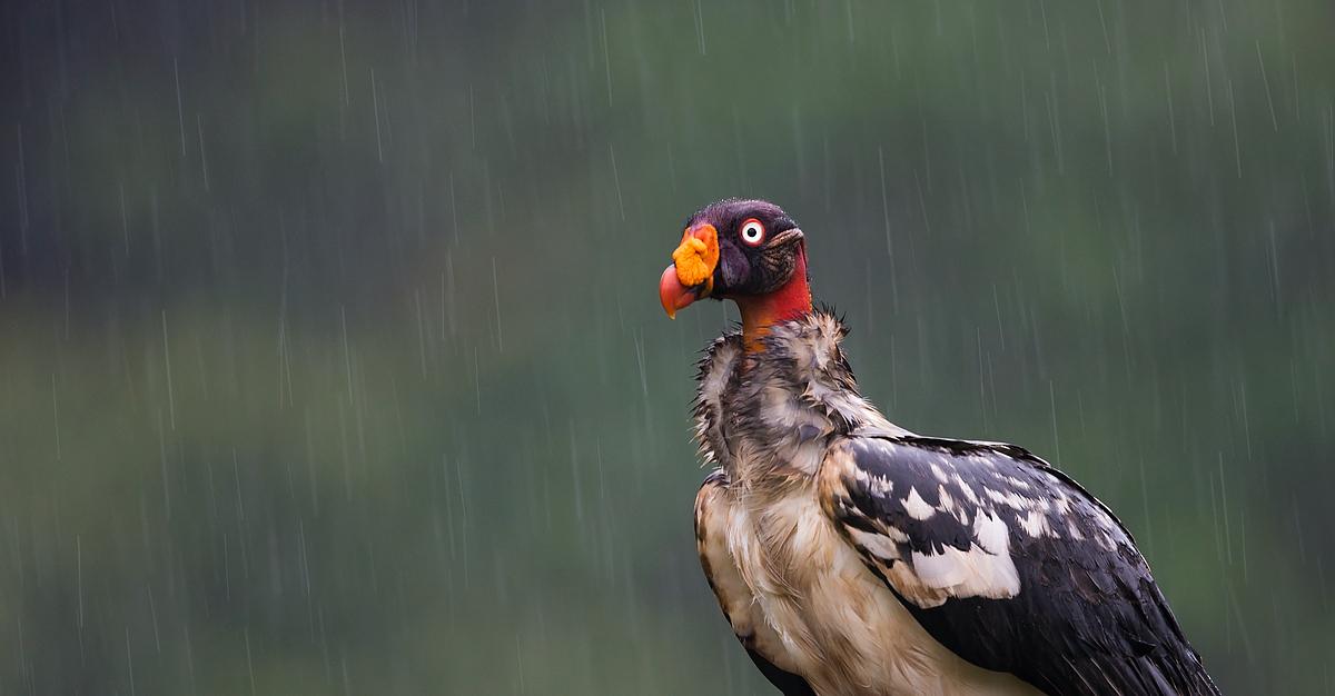 King Vulture - Costa Rica
