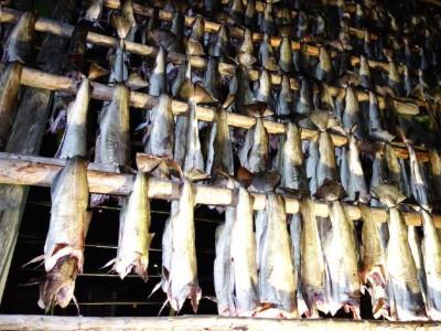 Stockfisch auf dem Lofoten