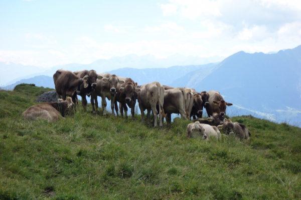 Kühe Flims