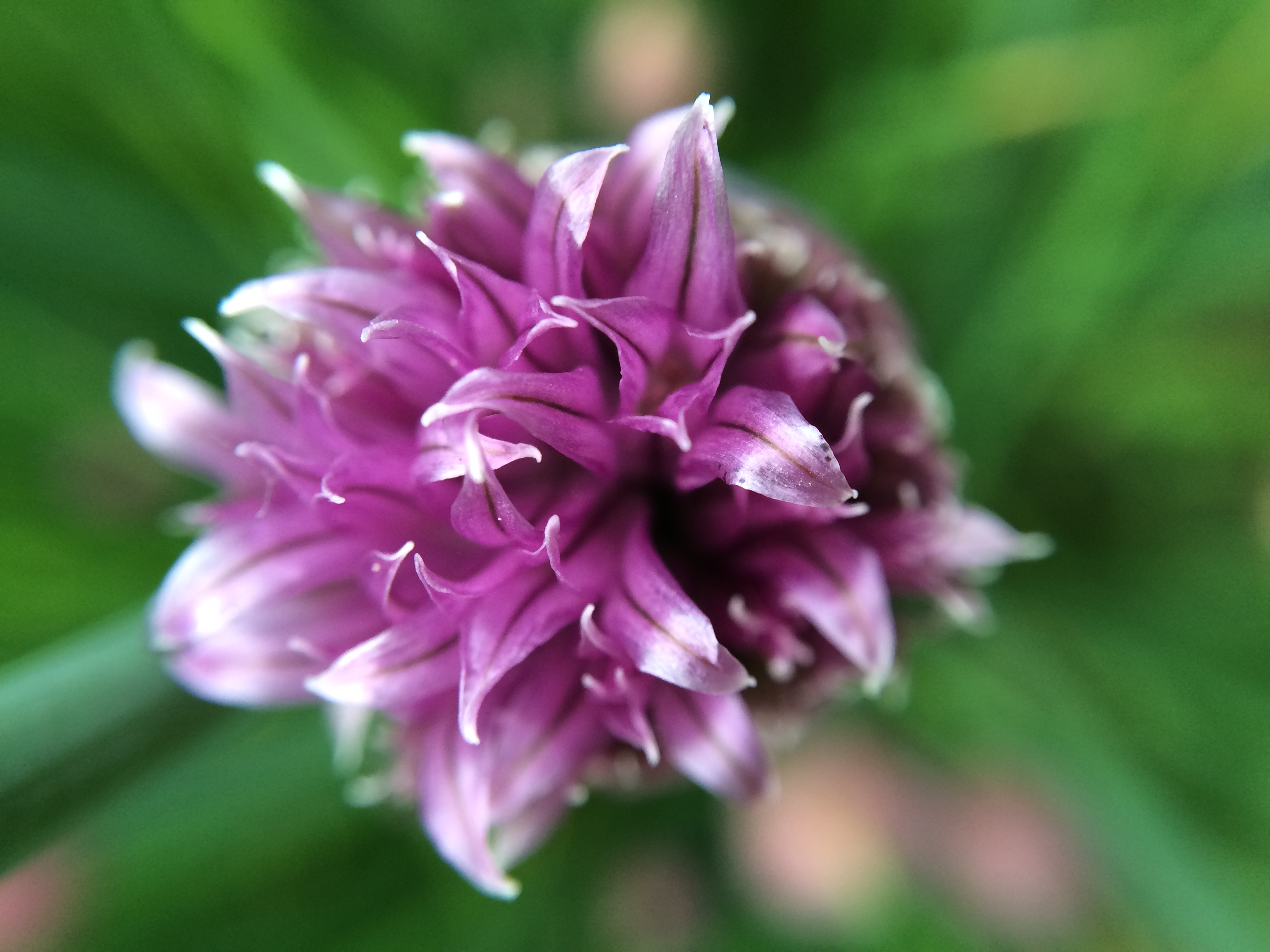 Chive flower in spring