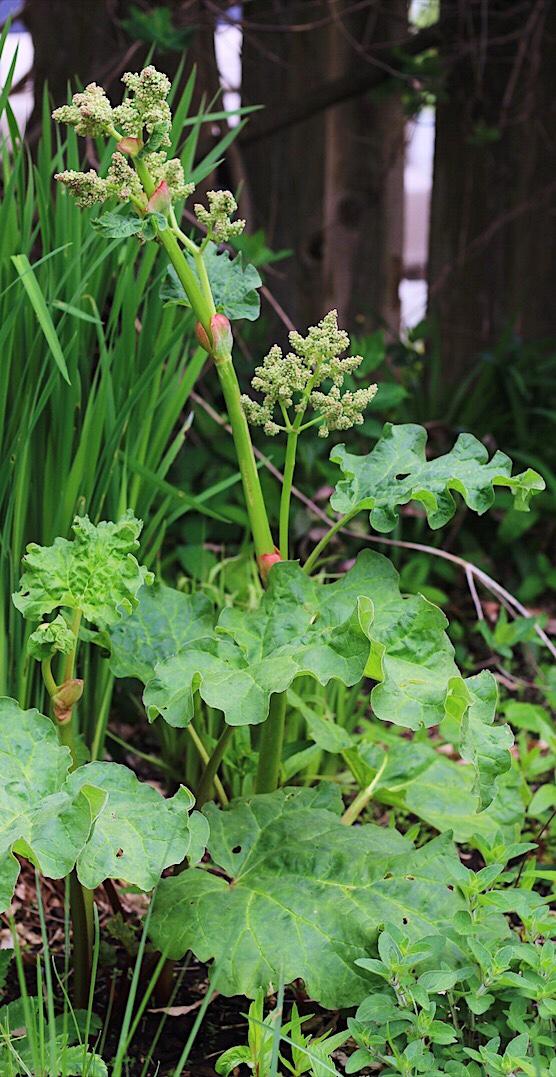 Flowering Rhubarb