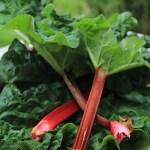 Garden Fresh Rhubarb