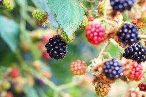 Wild Blackberries in Powell River