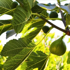 Figs Growing On My Fig Tree