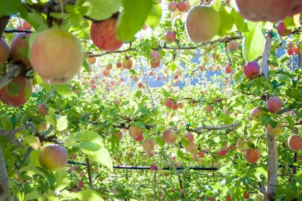 Organic Apple Orchard In Washington