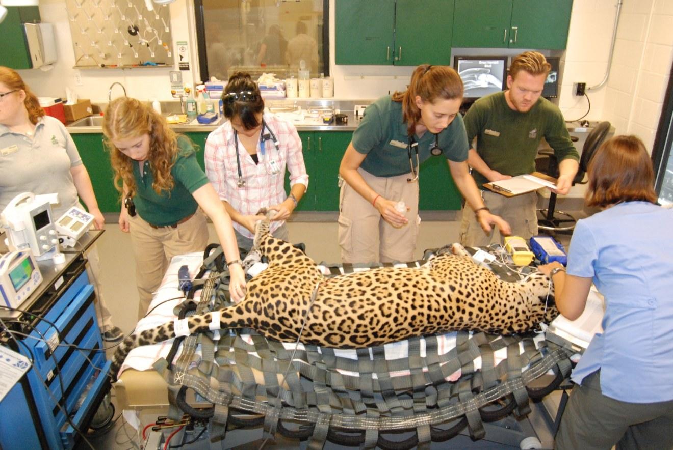 Jaguar Exam Photo by Tonja Candelaria - Taking Care of Anteaters to Zebras