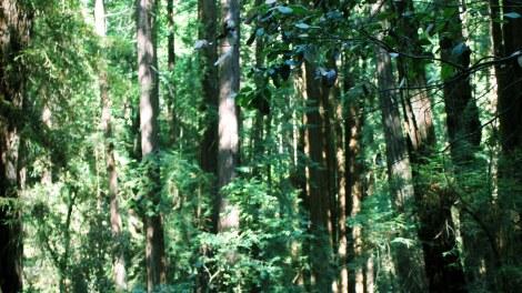 muir woods2 - Muir Woods: A Photo Gallery