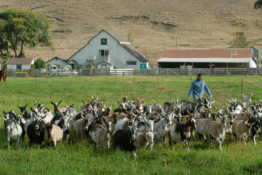 See California: Farm-to-fork is a Way of Life at Pescadero's Harley Farms Goat Dairy via @sacramentopress