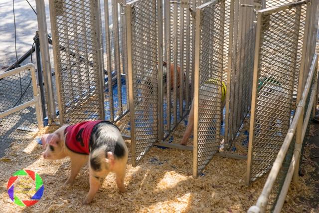 All Alaskan Racing Pigs  at the Sacramento County Fair.