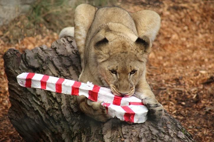 Sacramento Zoo Animals Went Wild for Holiday Magic via @sacramentopress