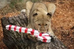HM AfricanLion AJ 35 e1450399581153 - Sacramento Zoo Animals Went Wild for Holiday Magic