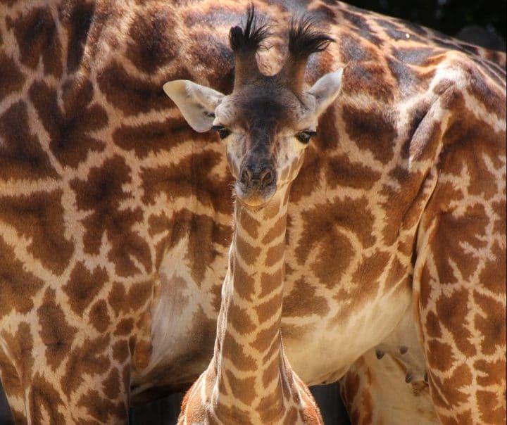 Rocket the Giraffe Calf - Photo by Mike Owyang