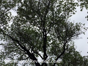 Photo of Tree - Spring 2019 Allergy Capitals Report