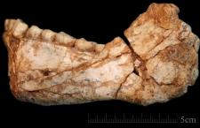 This is the first, almost complete adult mandible discovered at the Jebel Irhoud site. The shape of the bone and the teeth clearly assign it to the root of our own lineage, the study authors say. (Jean-Jacques Hublin / Max Planck Institute for Evolutionary Anthropology)