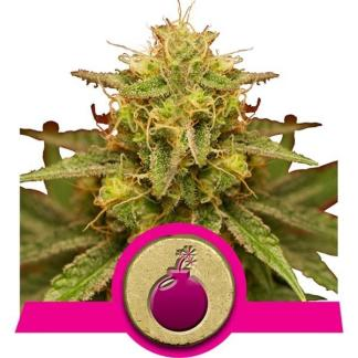 Barney's Farm – Blue Gelato 41 – 5-Pack Feminized