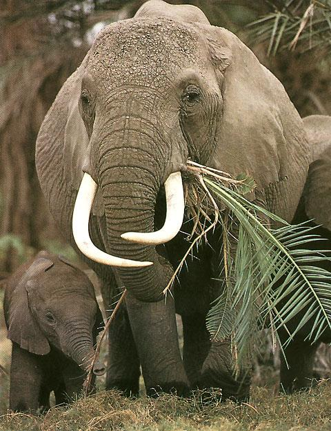 forest elephant conservation